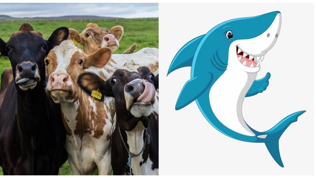 cá mập hay bò nguy hiểm hơn